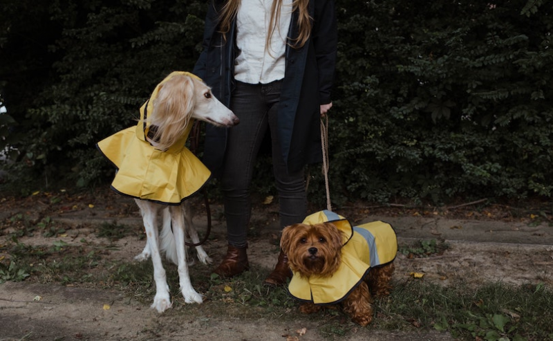 Woman walking two dogs in raincoats